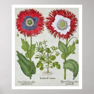 Amapolas ornamentales, del 'Hortus el Eystettensis Póster