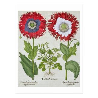 Amapolas ornamentales, del 'Hortus el Eystettensis Tarjetas Postales