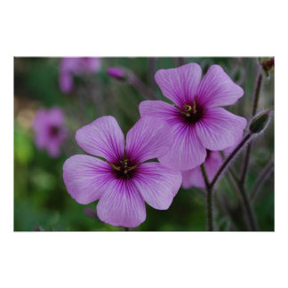Amapolas púrpuras impresiones