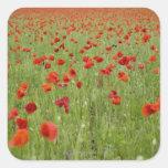 Amapolas rojas que florecen en campo calcomania cuadradas