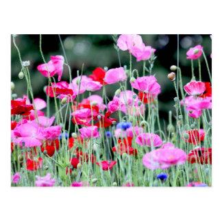 Amapolas rojas y rosadas postal