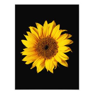 Amarillo del girasol en el negro - flores modifica cojinete