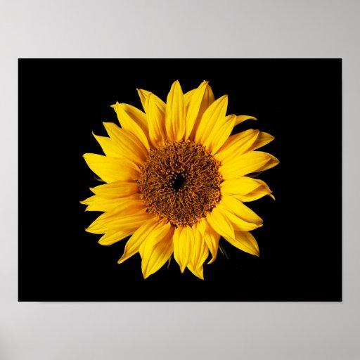 Amarillo del girasol en el negro - flores póster