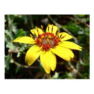 Amarillo del lyrata de Berlandiera de la flor del Tarjetas Postales