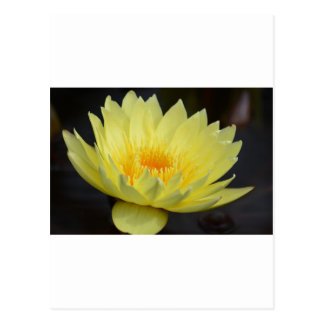 Amarillo Lotus Postcard