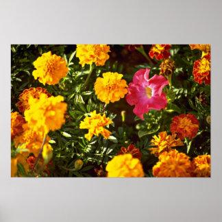 Amarillo, maravillas anaranjadas, flores de la pet impresiones