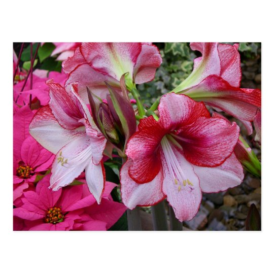 Amaryllis and Poinsettia Red Holiday Flowers Postcard