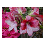 Amaryllis and Poinsettia Red Holiday Flowers Poster