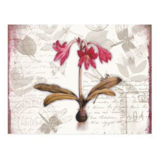 Amaryllis Belladonna Postcard
