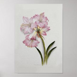 Amaryllis belladonna posters