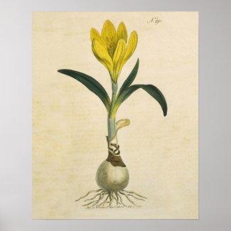 Amaryllis Botanical Vintage Garden Print