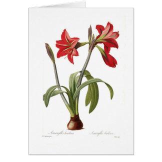 Amaryllis brasiliensis card
