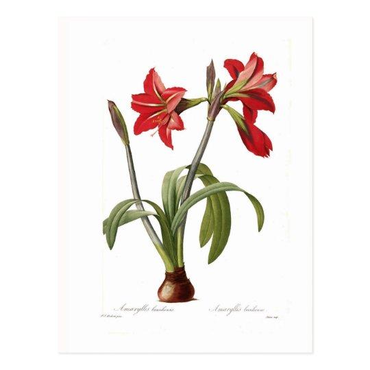 Amaryllis brasiliensis postcard
