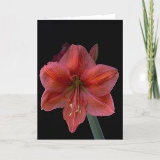 Amaryllis zazzle_card