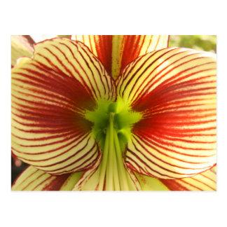 Amaryllis de la mariposa tarjeta postal