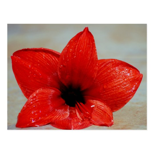 Amaryllis flower and its meaning postcard