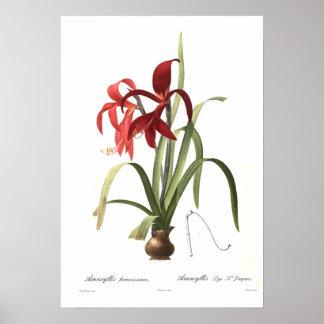 Amaryllis formosissima print