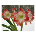 Amaryllis in Snow I Red Holiday Winter Floral Photo Print