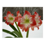 Amaryllis in Snow I Red Holiday Winter Floral Postcard