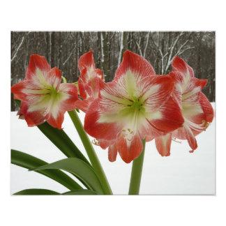Amaryllis in Snow Winter Floral Photo Art