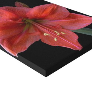 Amaryllis on Black Stretched Canvas Prints