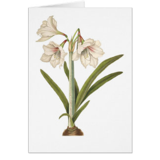 Amaryllis picta card