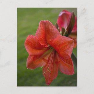 Amaryllis zazzle_postcard