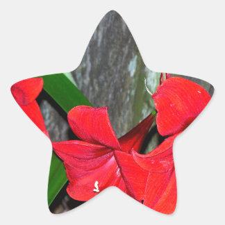 Amaryllis rojo por una cerca vieja pegatina en forma de estrella