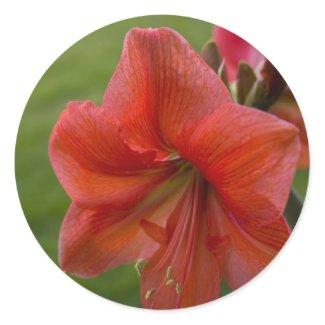 Amaryllis zazzle_sticker