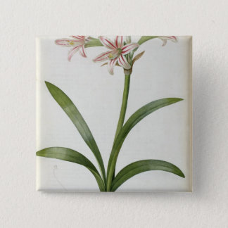 Amaryllis Vittata Button