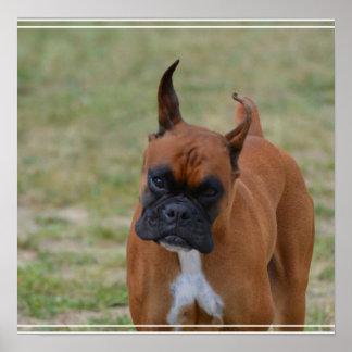 Amazing Boxer Dog Poster