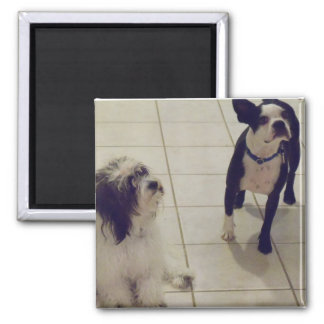 Amazing Maltipoo and Beatiful Boston 2 Inch Square Magnet