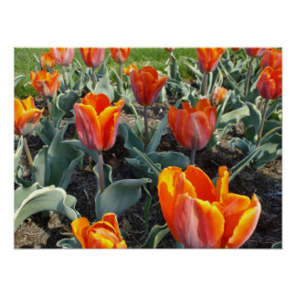 Amazing Orange Flowers in the Springtime Poster