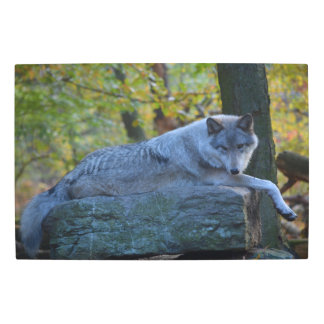 Amazing Timberline Wolf resting in the fall. Metal Print