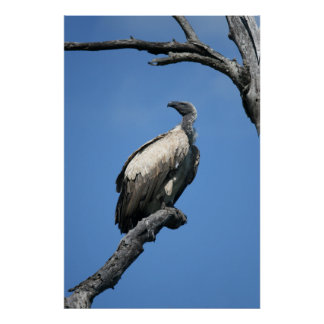 Amazing vulture scavenger bird sitting in a tree poster