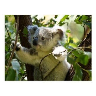Amazingly cute baby koala in a tree postcard