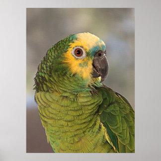 Amazon Blue Front Parrot Poster