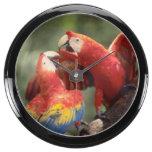 Amazon, Brazil. Pair of Scarlet Macaws (Ara Aquavista Clock