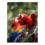Amazon, Brazil. Pair of Scarlet Macaws (Ara Postcard