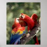 Amazon, Brazil. Pair of Scarlet Macaws (Ara Poster
