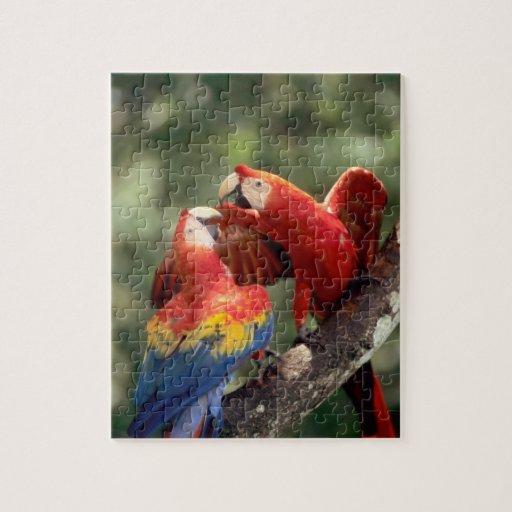 Amazon, Brazil. Pair of Scarlet Macaws (Ara Jigsaw Puzzle