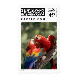 Amazon, Brazil. Pair of Scarlet Macaws (Ara Stamp