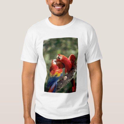 Amazon, Brazil. Pair of Scarlet Macaws (Ara T Shirt