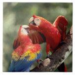 Amazon, Brazil. Pair of Scarlet Macaws (Ara Large Square Tile
