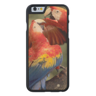 Amazon, Brazil. Pair of Scarlet Macaws (Ara Carved® Maple iPhone 6 Slim Case