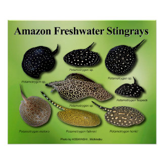 Amazon Freshwater Stingrays Poster