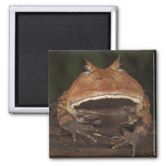 Amazon Horned Frog Ceratophrys cornuta). 2 Inch Square Magnet