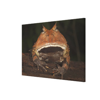 Amazon Horned Frog Ceratophrys cornuta). Canvas Print