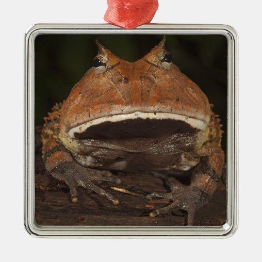 Amazon Horned Frog Ceratophrys cornuta). Metal Ornament
