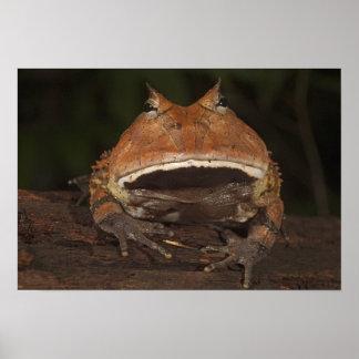 Amazon Horned Frog Ceratophrys cornuta). Poster